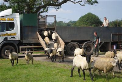 happy, healthy dipped sheep leaving lorry
